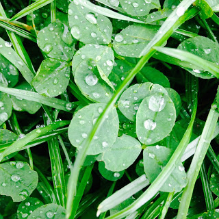 Grass and clovers with raindrops on