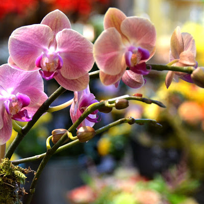 Orchids in NYC