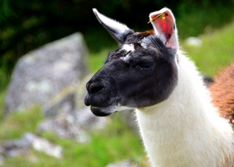 Llama Life
