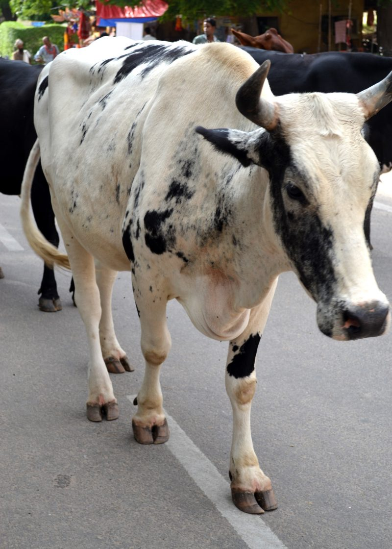 Cows everywhere in India