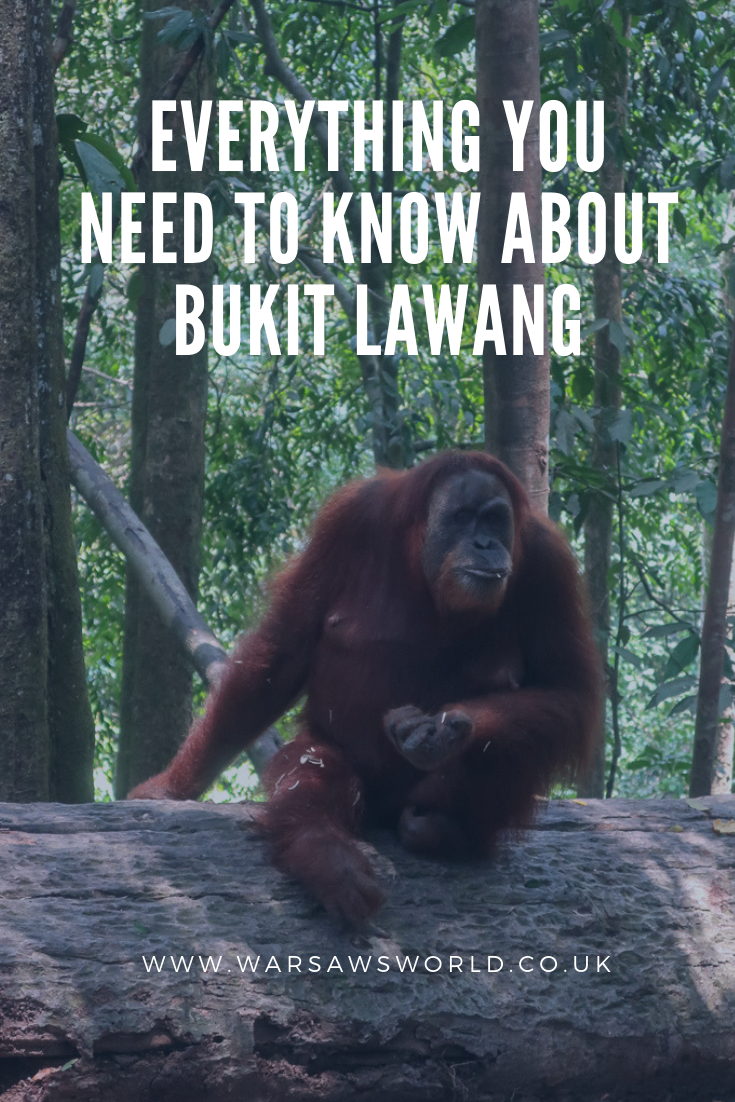 Everything you need to know about Bukit Lawang - pinterest graphic featuring mina the orang-utan