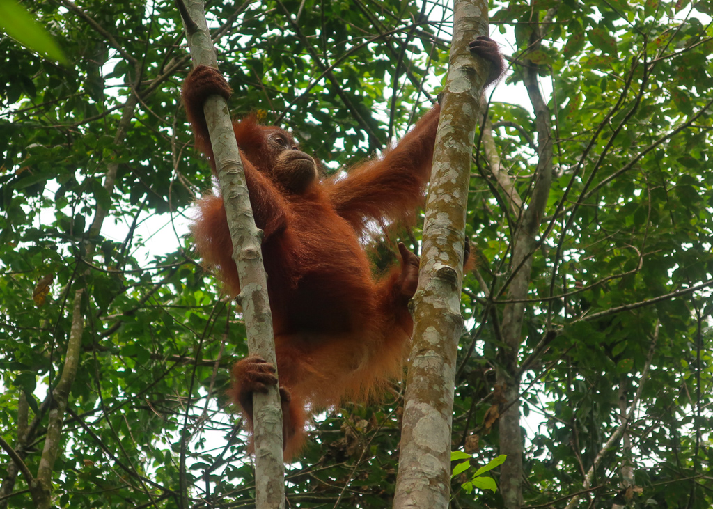 A baby orang-utan swings from the trees