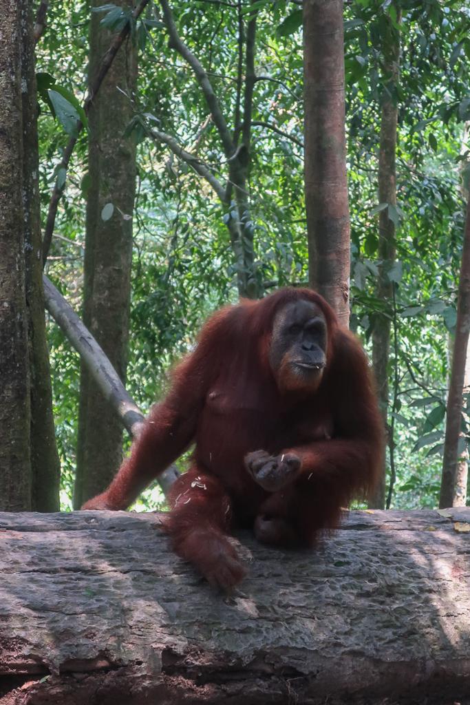Mina the orang-utan sits on a log eating nuts